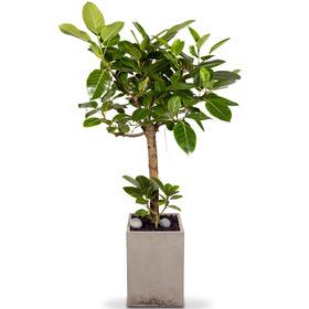 뱅갈고무나무사각시멘트화분12