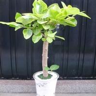 뱅갈고무나무050